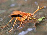 ハラグロキバネクモバチ