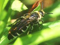 シロオビハラナガツチバチ