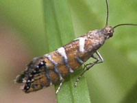 ヘリグロホソハマキモドキ