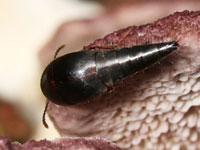 ヒメキノコハネカクシ属の一種