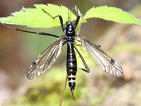 ヒメクシヒゲガガンボ類の一種