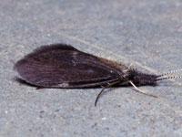 カクツツトビケラ属の一種