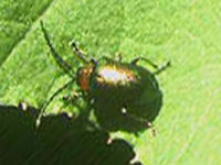 キクビアオハムシ