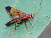 クロハラヒメバチ