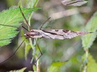 マダラガガンボ亜属の一種
