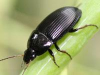 マルガタゴミムシ属の一種