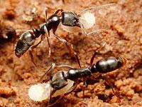 オオハリアリ属の一種