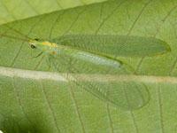 オオクサカゲロウ属の一種