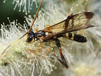 タマヌキケンヒメバチ