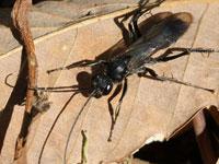 トゲアシオオクモバチ