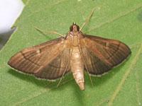 Bradina属の一種